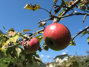 The best apples are at the top.